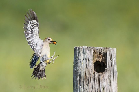 Golden-fronted Woodpecker bringing food to young in the nest.