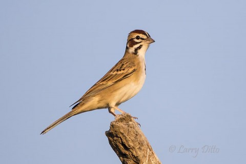 Lark Sparrow perched near photo blind at sunrise.