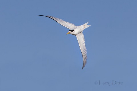 Least Tern aerobatics