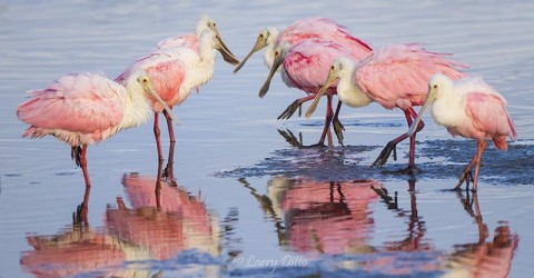 Roseate Spoonbills at South Padre Island