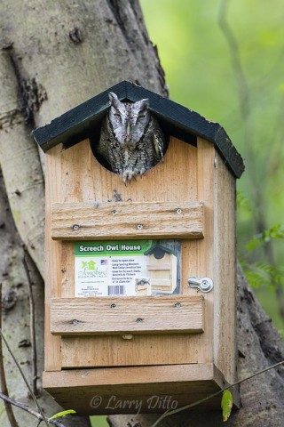 Screech Owl that can READ!