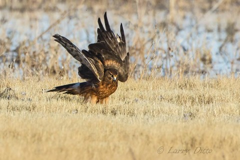 Northern Harrier, female protecting a snow goose carcass.