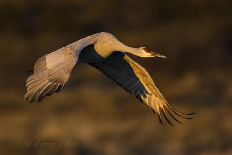 Sandhill Crane leaving the roost in rich morning light.