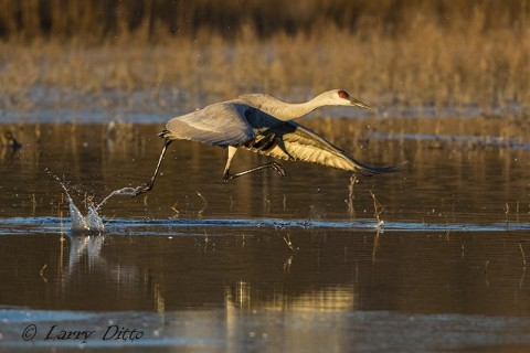 Sandhill crane leaves the roost pond with a running start in shallow water.