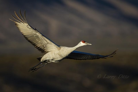 Sandhill Crane at Bosque del Apache NWR, NM