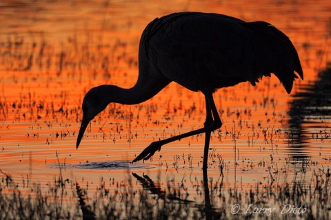 Feeding Sandhill Crane silhouetted against a red sunset on the roost pond.