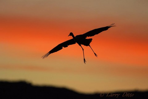 Sandhill Crane passing a red cloud on its descent to the roost pond.