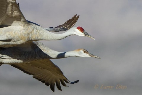 Adult and young sandhill cranes in flight