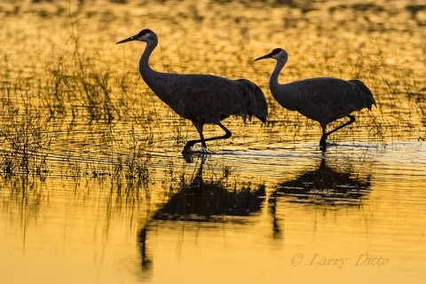 Sandhill Cranes wading in golden water.