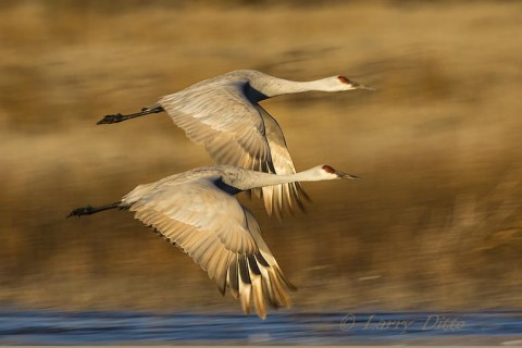 Sandhill Cranes leaving the roost at sunrise.