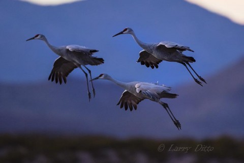 Sandhill Cranes descending on a roost pond in the shadow of Chupadera Wilderness peaks.