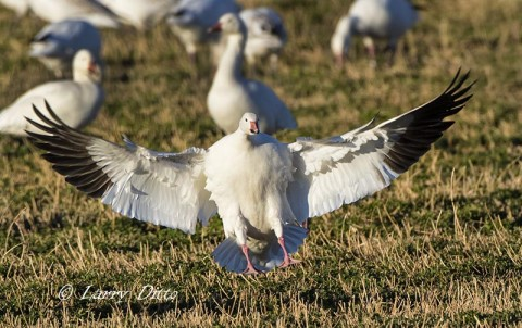 Snow Goose landing in alfalfa field along the auto tour route.