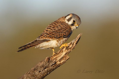 American Kestrel on hunting perch