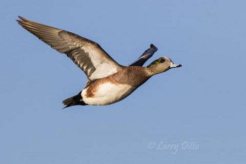 This male American wigeon was one of the few airborne birds of the morning.