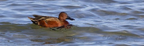 An unusual sight, this cinnamon teal male swam by looking for a freshwater inflow where he could drink and bathe.