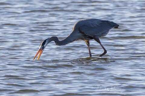 Great Blue Heron cleaning his beak.