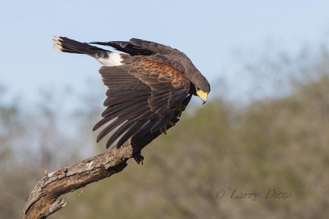 Harris's Hawk going to food