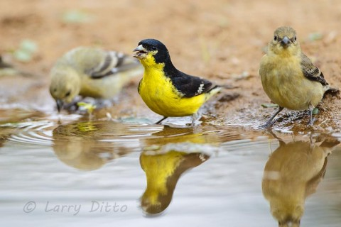Lesser Goldfinches drinking