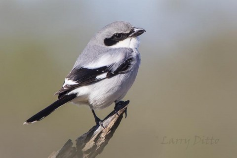 Loggerhead Shrike on hunting perch