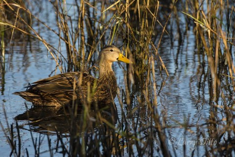 Mottled Duck drake (yellow bill) loafing in the shallows in good cover.