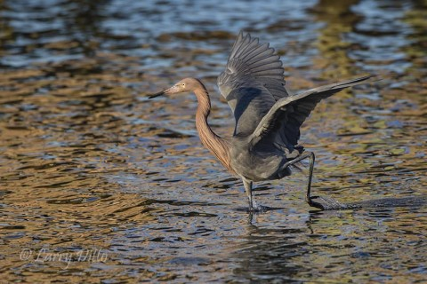 Reddish Egret herding a school of silvery fish in the shallows.