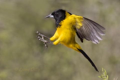 Audubon's Oriole landing