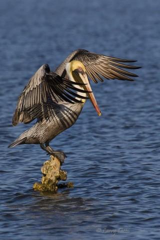 Brown Pelican landing on perch.