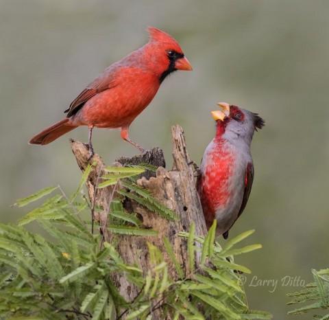 Northern Cardinal and Pyrrhuloxia scolding