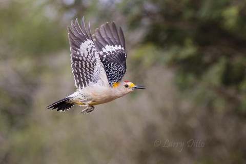 Male golden-fronted woodpecker posing in mid-air.