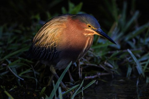 Green Heron feeding in the last rays of daylight.