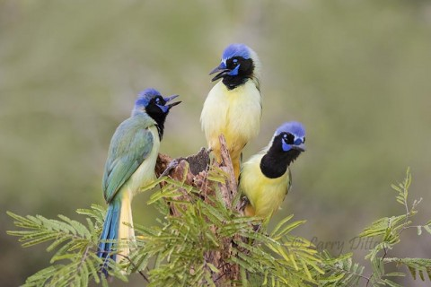 Green jay can't decide who eats first.