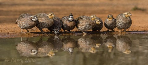 Eight northern bobwhites lined up for their first drink of the day.