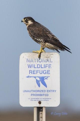 Peregrine Falcon on Aransas National Wildlife Refuge boundary sign.