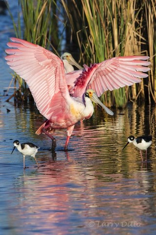 Stretching roseate spoonbill with black-necked stilts in the foreground.