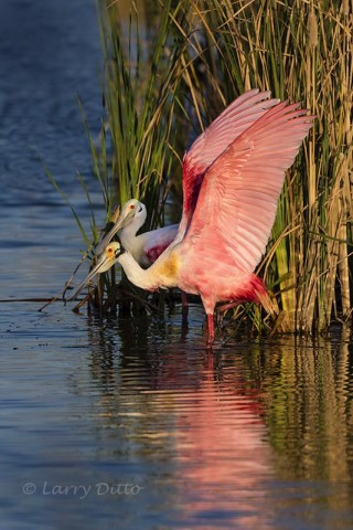 Roseate Spoonbill stretching by cattails