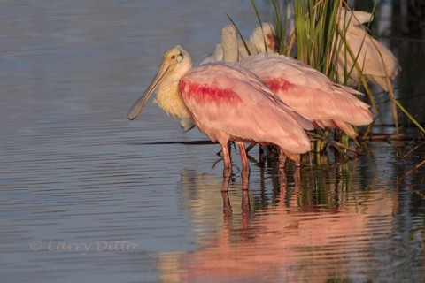 Resting roseate spoonbills by cattails.