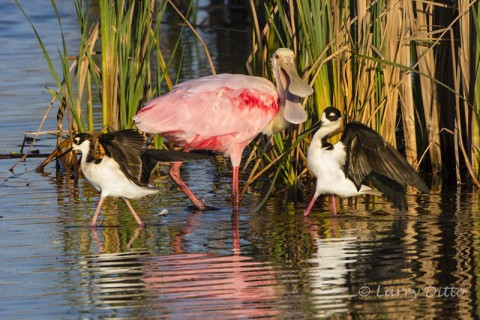 Roseate Spoonbill chasing black-necked stilts