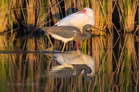 Tricolored Heron feeding past as sleeping white ibis.