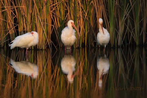 White Ibis sleeping in the shallows at the sun sets.