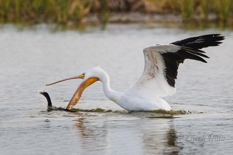 White Pelican taking fish from cormorant