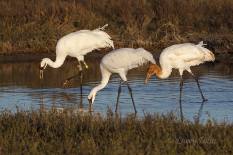 Whooping Crane family feeding on abundant blue crabs.  the orange-headed bird is a young of the year.