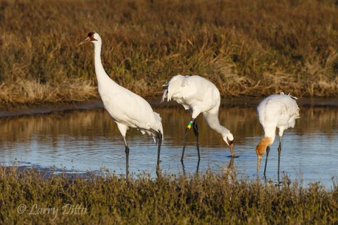 Whooping Crane family feeding while on adult maintains almost constant vigil.