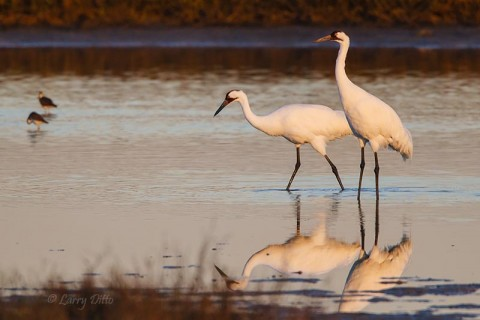 Whooping Crane pair feeding at sunrise