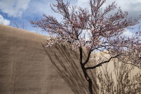Pink apricot blooms and shadows on an adobe wall.