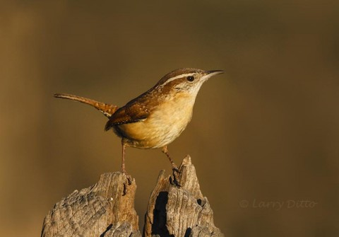 Carolina Wren on post