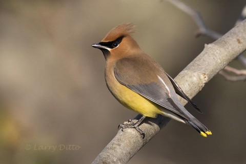 Cedar Waxwing in sycamore tree, Texas, spring