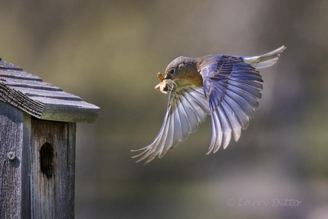 Eastern Bluebird feeding young