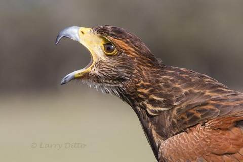 Juvenile Harris's Hawk