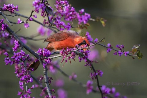 Northern Cardinal male hiding among the redbud blooms.