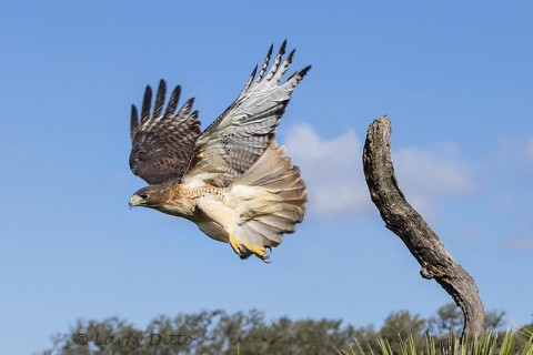 Red-tailed Hawk take off from tree stump.
